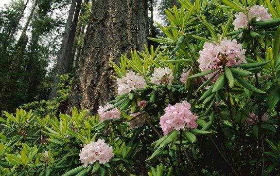 Flowering Bush Pink Flowers Forest Desktop Spring